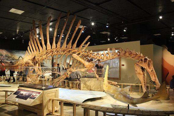 BBVA-OpenMind-Materia-Spinosaurus 3-Esqueleto de Spinosaurus en el National Geographic Museum. Crédito: Ryan Somma