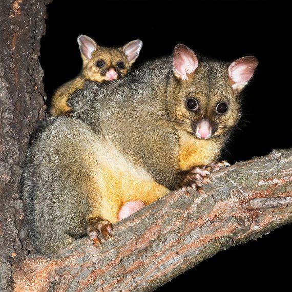 BBVA-OpenMind-Javier Yanes-Licencia para exterminar-erradicar especies-2-La zarigüeya australiana ha colonizado Nueva Zelanda, compitiendo por el alimento con las especies nativas. Crédito: JJ Harrison