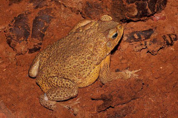 BBVA-OpenMind-Javier Yanes-Licencia para exterminar-erradicar especies-3-Los sapos gigantes ya han ocupado el 20% de Australia. Crédito: Benjamint444