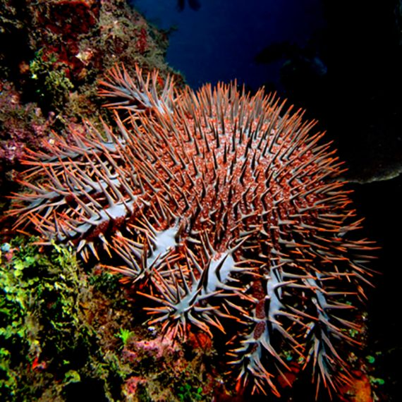 La corona de espinas o acantáster púrpura es un feroz azote para los corales duros. Crédito: Nhobgood