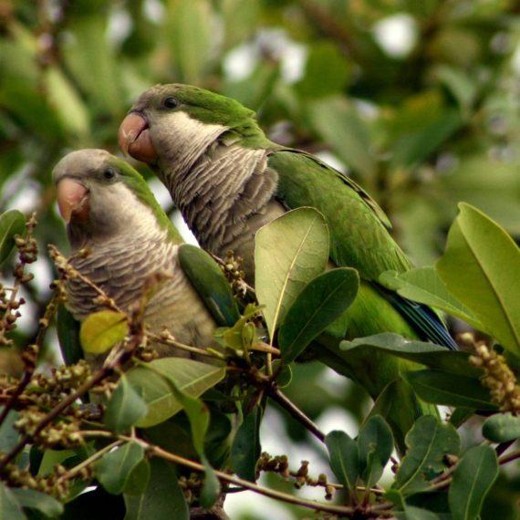 BBVA-OpenMind-Javier Yanes-Licencia para exterminar-erradicar especies-5-La cotorra argentina, un ave nativa de Sudamérica, es invasora en grandes regiones del planeta. Crédito: Maureen Leong-Kee