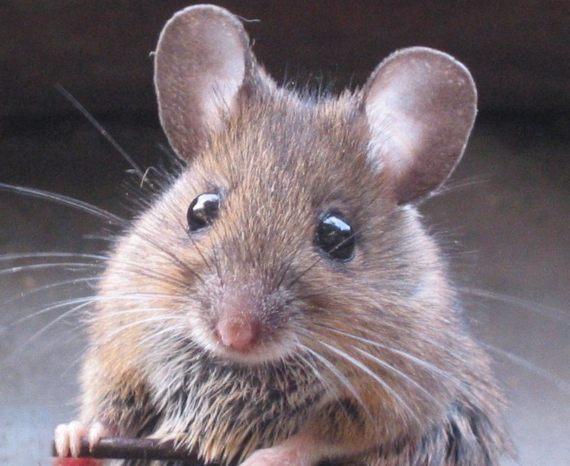 BBVA-OpenMind-Javier Yanes-Licencia para exterminar-erradicar especies-6-Los ratones domésticos fueron introducidos en el siglo XIX inadvertidamente por los barcos de los cazadores de focas. Crédito: Rasbak