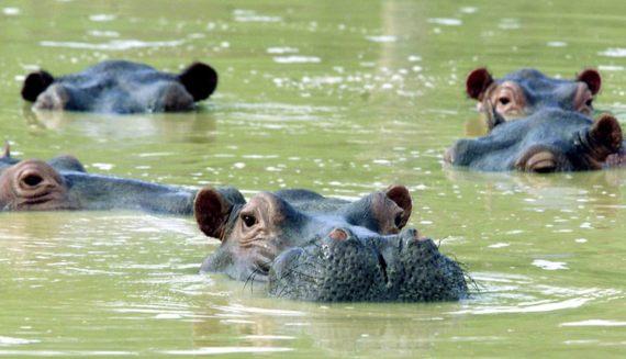 BBVA-OpenMind-Javier Yanes-Licencia para exterminar-erradicar especies-7-Una manada de hipopótamos nada en un lago fangoso en la casa de campo abandonada de Pablo Escobar, en Puerto Triunfo. Crédito: FICG.mx