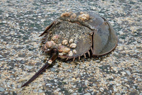 BBVA-OpenMind-Acabará la vacuna contra el covid-19 con el-Cangrejo Herradura_2-Para obtener el LAL, perforan la concha del cangrejo y drenan alrededor del 30% de su sangre de una vena cercana al corazón. Fuente: Needpix
