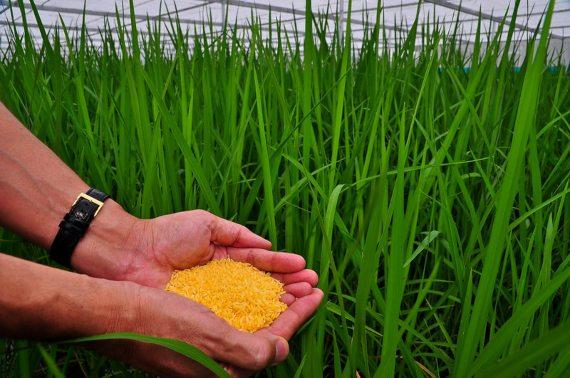 BBVA-OpenMind-Ventana-El largo y tortuoso camino del arroz dorado 2-El arroz dorado se está desarrollando como una nueva forma potencial de abordar la deficiencia de vitamina A. Foto del IRRI (Isagani Serrano)