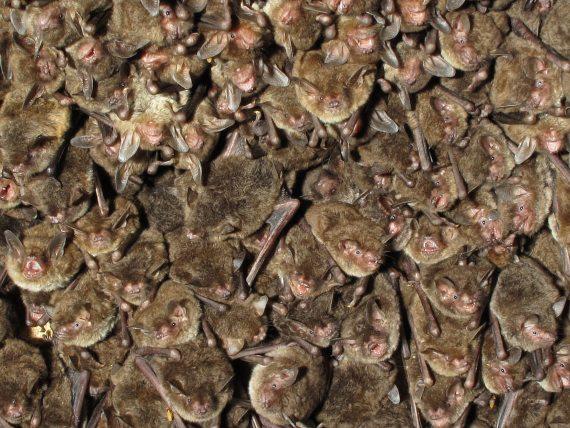 Los murciélagos forman el segundo orden de mamíferos más abundante después de los roedores. Crédito: U.S. Geological Survey