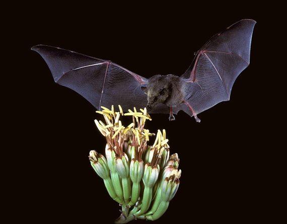 BBVA-OpenMind-Cómo murciélagos pueden ser incubadoras de virus y no morir en el intento 3-Los murciélagos son capaces de mantener la hiperinmunidad sin dañarse a sí mismos. Crédito: USFWS