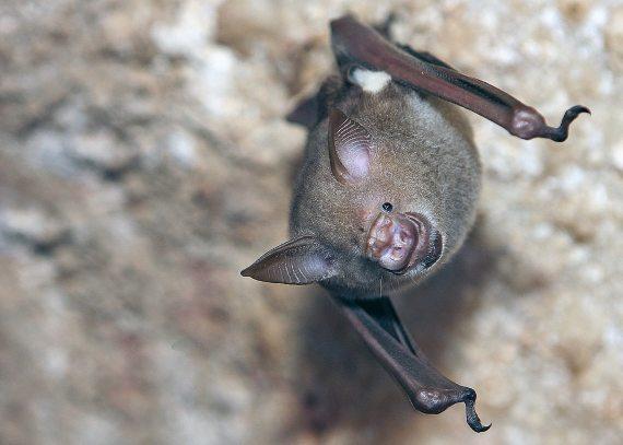 BBVA-OpenMind-Cómo murciélagos pueden ser incubadoras de virus y no morir en el intento 4-Los murciélagos tienen muchos rasgos biológicos únicos. Crédito:David Dennis