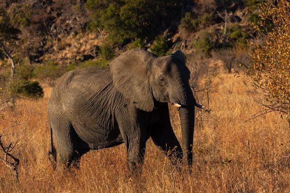 BBVA-OpenMind-Materia-Enfermedad moderna o avería biológica Historia cancer 3-En los elefantes, una especie con una baja incidencia de cáncer, se ha encontrado un gen supresor de tumores. Crédito: Diego Delso