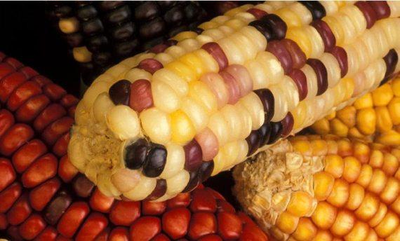 BBVA-OpenMind-transposón-Carossidi_mais-Los diferentes colores de los granos de esta mazorca de maíz es el resultado de la acción de transposones. Fuente: Wikimedia
