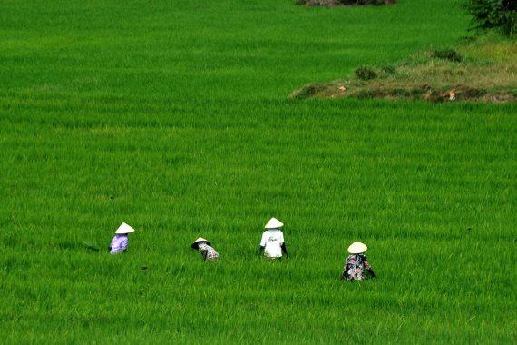 BBVA-OpenMimd-Materia-CRISPR es también una herramienta ambiental-CRISPR_Medioambiente_3-Los campos de arroz anegados son la mayor fuente antropogénica de metano. Fuente: www.all-free-photos.com