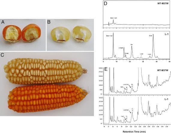 """BBVA-OpenMind-Javier Yanes-Otros alimentos """"dorados"""" más allá del arroz Alimentos dorados 3-La Universitat de Lleida ha obtenido un cultivo de maíz GM que aumenta el contenido en beta caroteno, en ascorbato y folato. Fuente: PNAS"""