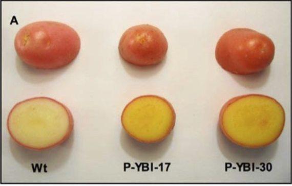 """BBVA-OpenMind-Javier Yanes-Otros alimentos """"dorados"""" más allá del arroz Alimentos dorados 4- Una ración de 150 gramos de patatas doradas puede aportar el 42% de las necesidades diarias de vitamina A de un niño. Crédito Universidad de Ohio"""