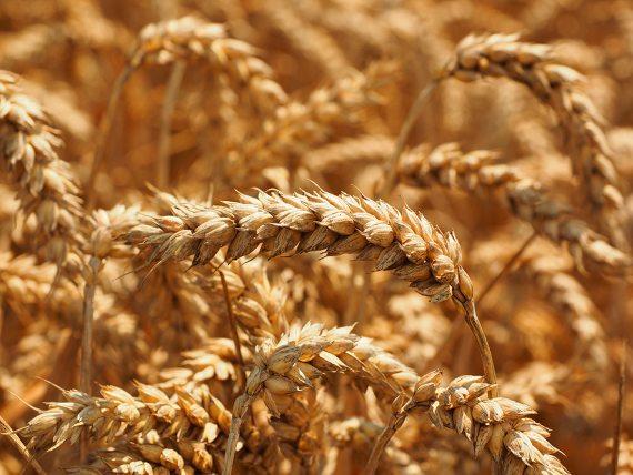 """BBVA-OpenMind-Javier Yanes-Otros alimentos """"dorados"""" más allá del arroz Alimentos dorados 6-El trigo ocupa más superficie cultivada en el mundo que cualquier otro alimento vegetal. Crédito: Belle Aungst"""