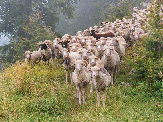 BBVA-OpennMind-Materia-Inmunidad de grupo-Pandemia-COVDI 19-Inmunidad grupal 2-La idea de la inmunidad de grupo surgió en el ámbito de la ganadería. Crédito: Heidelbergerin