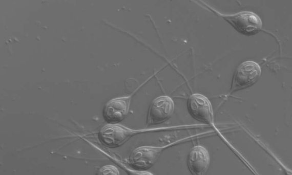 BBVA-OpenMind-Javier Yanes-superhéroes de la naturaleza-Animales con poderes--5-Imagen de microscopio de esporas del parásito cnidario Henneguya salminicola. Crédito: Stephen Douglas Atkinson.