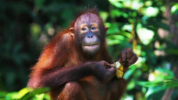 BBVA-OpenMind-Materia-Boicot al aceite de palma-3-Las plantaciones de aceite de palma ocupan tierras que eran selva tropical y afectan a la supervivencia de animales amenazados como los orangutanes. Fuente: Max Pixel