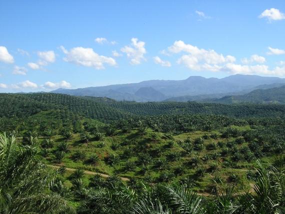 BBVA-OpenMind-Materia-Boicot al aceite de palma-5-Vista de una plantación de aceite de palma en Indonesia. Credit: Achmad Rabin Taim