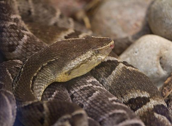 BBVA-OpenMind-Materia-Venenos animales con poderes curativos-2-Bothrops moojeni, denominada comúnmente yarará caiyaca o caixaca, es una especie de serpiente venenosa de la familia de los vipéridos, una pequeña víbora endémica de América del Sur. Crédito: Greg Hume