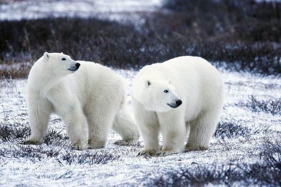 BBVA-OpenMind-Yanes-especies más cotizadas para la caza furtiva-11-El oso polar cierra la lista de las 10 especies más cotizadas. Fuente: Pxfuel