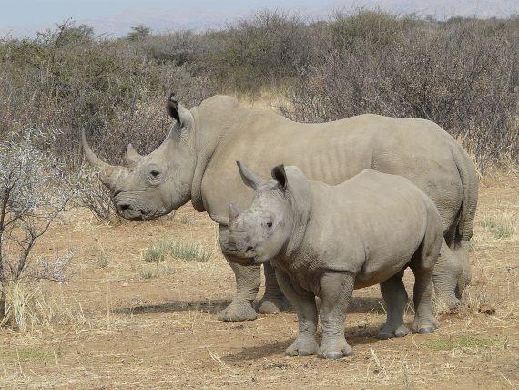 BBVA-OpenMind-Yanes-especies más cotizadas para la caza furtiva-2- La caza furtiva es hoy la principal amenaza para la supervivencia del rinoceronte blanco. Crédito: Zigomar