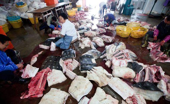 BBVA-OpenMind-Yanes-especies más cotizadas para la caza furtiva-4 (1)-El tiburón ballena se caza ilegalmente por sus aletas, su piel y su aceite. Fuente: Javier Yanes