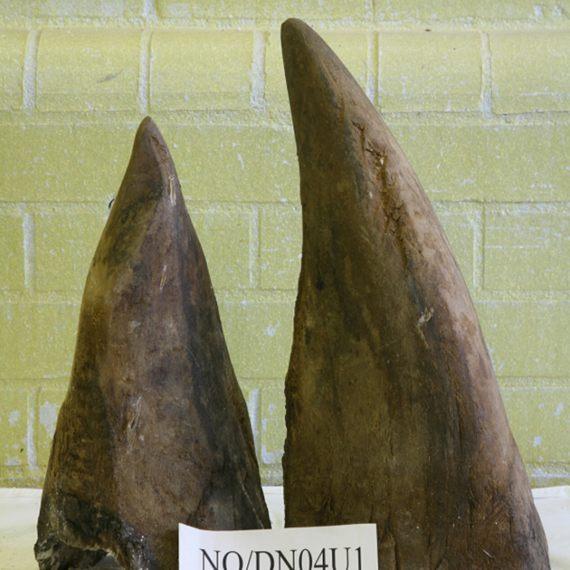 BBVA-OpenMind-Yanes-especies más cotizadas para la caza furtiva-5-El rinoceronte negro es de menor tamaño que el blanco y también lo son sus cuernos, por eso alcanza un precio algo inferior en el mercado negro. Crédito: Ukhomeoffice