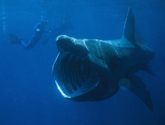 BBVA-OpenMind-Yanes-especies más cotizadas para la caza furtiva-6-El tiburón peregrino es una presa fácil por su conducta mansa y su costumbre de frecuentar aguas superficiales. Crédito: Chris Gotschalk