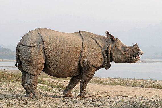 BBVA-OpenMind-Yanes-especies más cotizadas para la caza furtiva-8-La caza furtiva es una amenaza constante para el rinoceronte indio en el Parque Nacional de Kaziranga. Crédito: Charles J. Sharp