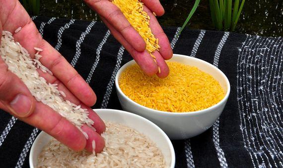El arroz dorado (a la derecha) es un cultivo transgénico desarrollado para suplir la carencia de vitamina A. Crédito: Wikimedia