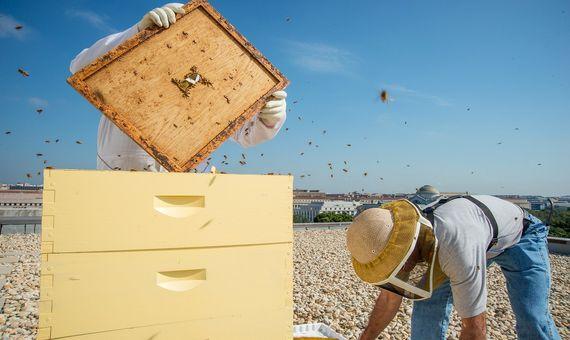Desaparicion Abejas 2-Las plagas, los insecticidas o el cambio climático son responsables de que los apicultores hayan perdido entre el 30 y el 90% de sus colmenas. Fuente: Wikimedia