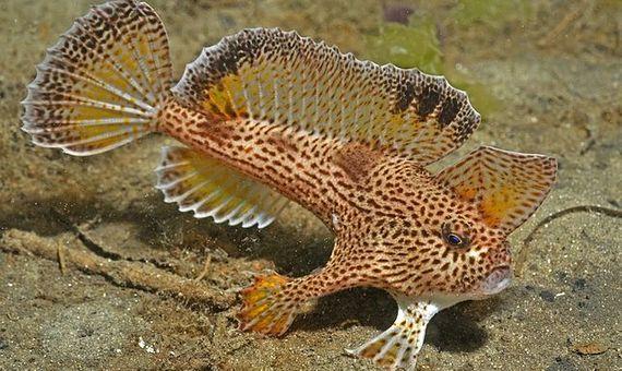 Una de las pocas especies de peces con manos que existen en Australia fue el primer pez marino declarado extinto en la historia moderna. Fuente: Wikimedia