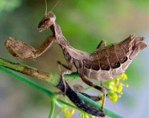 La mantis enana espinosa, de aspecto similar a la de la imagen, solo fue avistada una vez por científicos en Italia. Fuente: Wikimedia