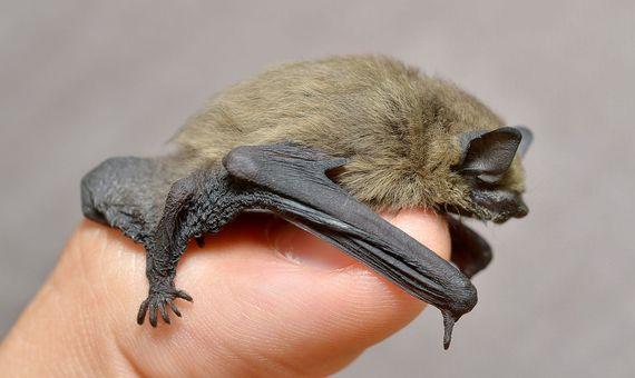 Dos especies de murciélagos como el de la imagen fueron declaradas extintas durante el año 2020. Fuente: Wikimedia