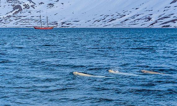 BBVA-OpenMind-Yanes-La region artica-nuevo canal de Suez- 4La combinación entre el deshielo del Ártico y la contaminación provocada por el paso de buques afecta a poblaciones de especies como los narvales y las belugas. Imagen: Toporniz