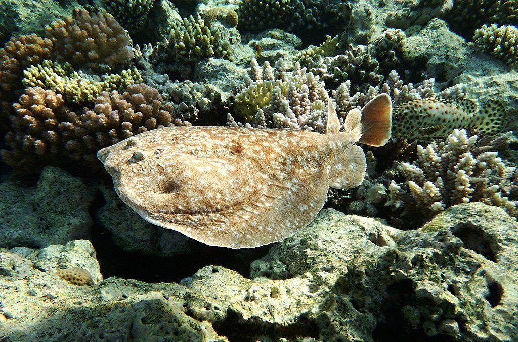 BBVA-OpenMind-Animales electricos-cuando la evolucion se pone las pilas-Animales_electricos_4-A diferencia de la mayoría de los peces eléctricos, las rayas eléctricas habitan en las aguas costeras poco profundas. Crédito: Kora27
